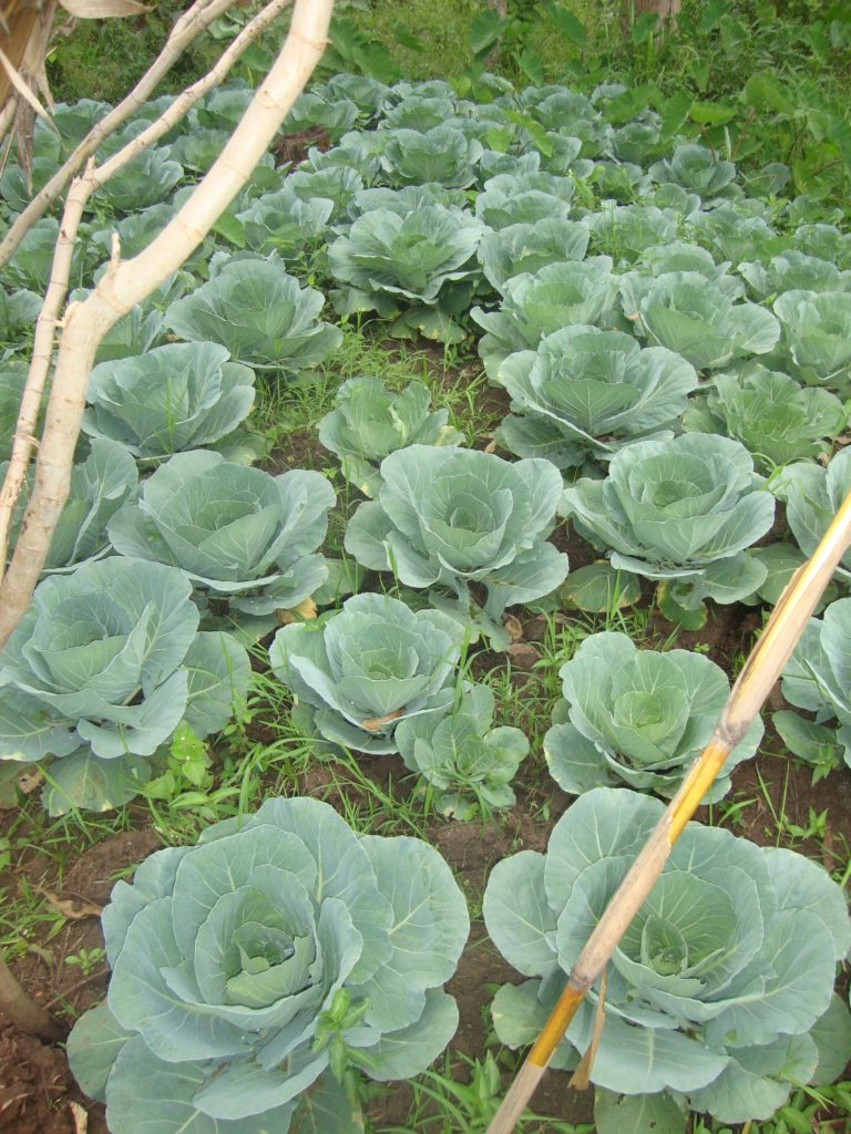 With a micro loan to help with start up seeds, a beautiful cabbage patch is well on its way to providing income for its grower and nutrition for its buyers!