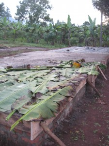After hard core lined the floor, sand was pounded over, filling all the gaps. Here the rains came and banana leaves were used to keep the sand as dry as possible.